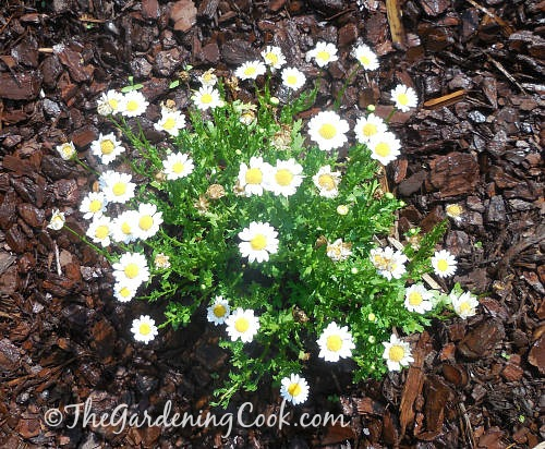 English daisy - the birthflower for April and Taurus