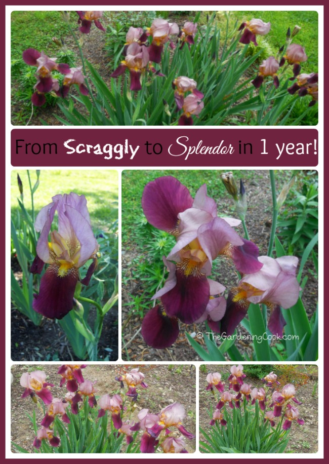 These bearded irises went from pitiful, scraggly specimens to beauties in one year by transplanting. Find out how!