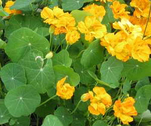 Nasturtiums are great for attracting pollinators to your vegetable garden - from www.o-garden.ca