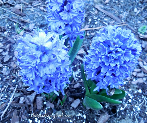 HYacinth bulbs bloom in early spring.