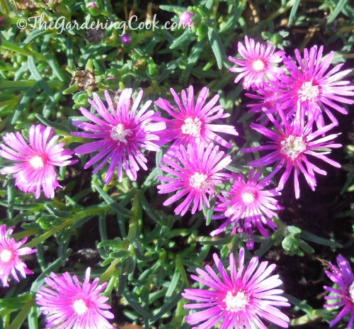 This Purple ice plant - lamprantus- is a great ground cover