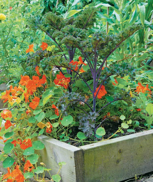 Kale and Nasturtiums in a raised garden bed