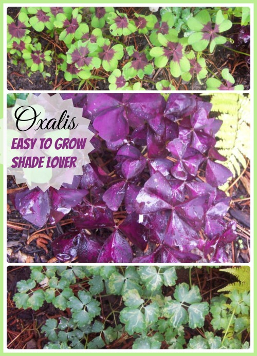 Oxalis is an easy to grow bulb that loves the shade