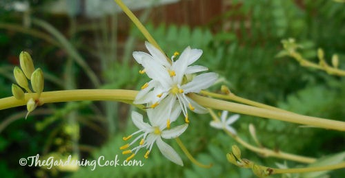 Spider Plant flowers look a bit like a miniature lily.