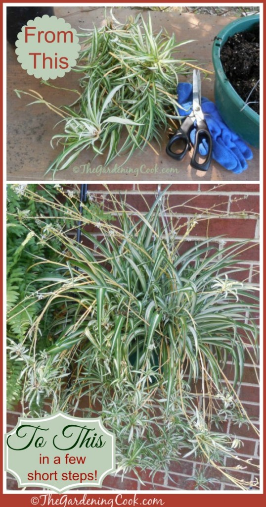 Spiderplants are so easy to grow from babies. Find out how to do it at thegardeningcook.com/how-to-propagate-spider-plants