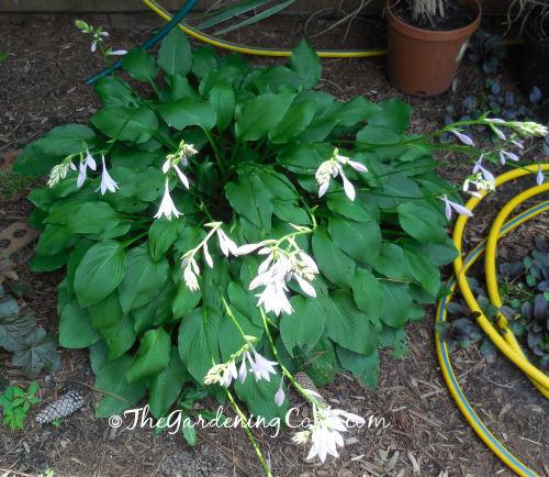 Blue Angel Hosta in Bloom