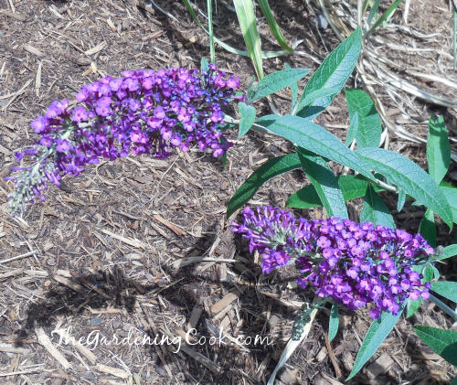 "This purple butterfly bush was labeled as ""ruby red."""
