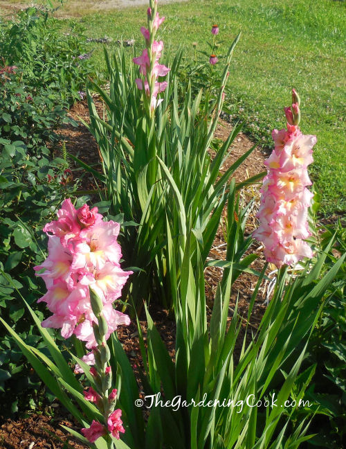 Gladiolas just starting to bloom