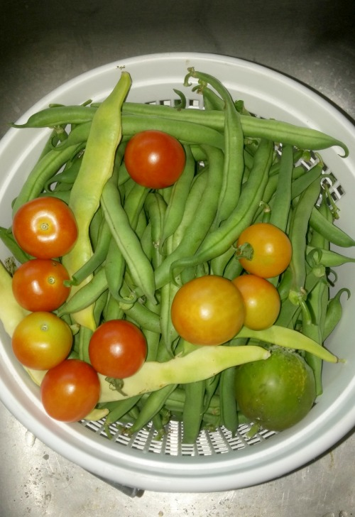 Fresh beans and baby tomatoes straight from the garden.