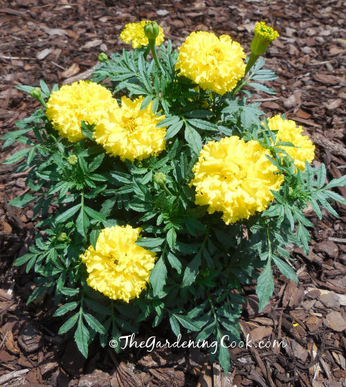 Marigolds attract beneficial insects to my garden