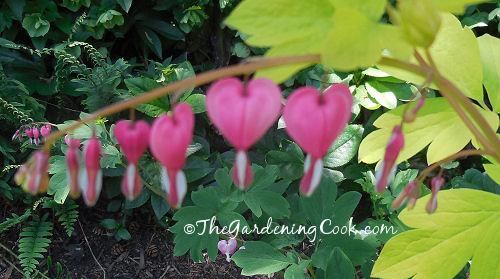 Old fashoned bleeding heart flower.