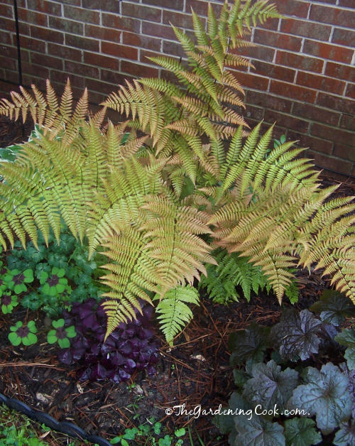 Ostrich Fern loves the shade