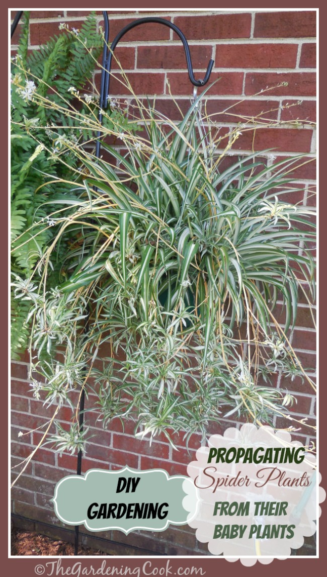 Get new plants for free by learning how to propagate spider plants from their babies.