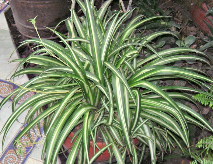 propagate spider plants from their babies the gardening cook. Black Bedroom Furniture Sets. Home Design Ideas