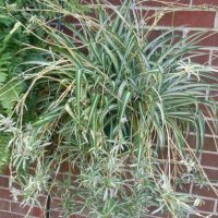 Mature spider plant