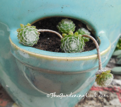 Baby sempervivum, hens and chicks, love to trail over the edge of this pocket