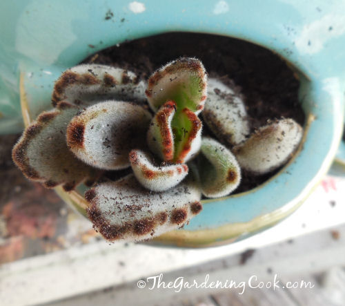 Kalanchoe Tomentosa is also known as donkey's ears.