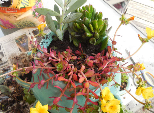 Purslane, crassula and jade complete the top of the planter