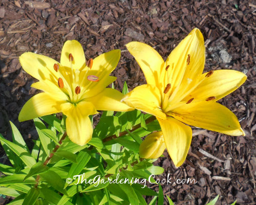 Bright Yellow Asiatic Lily