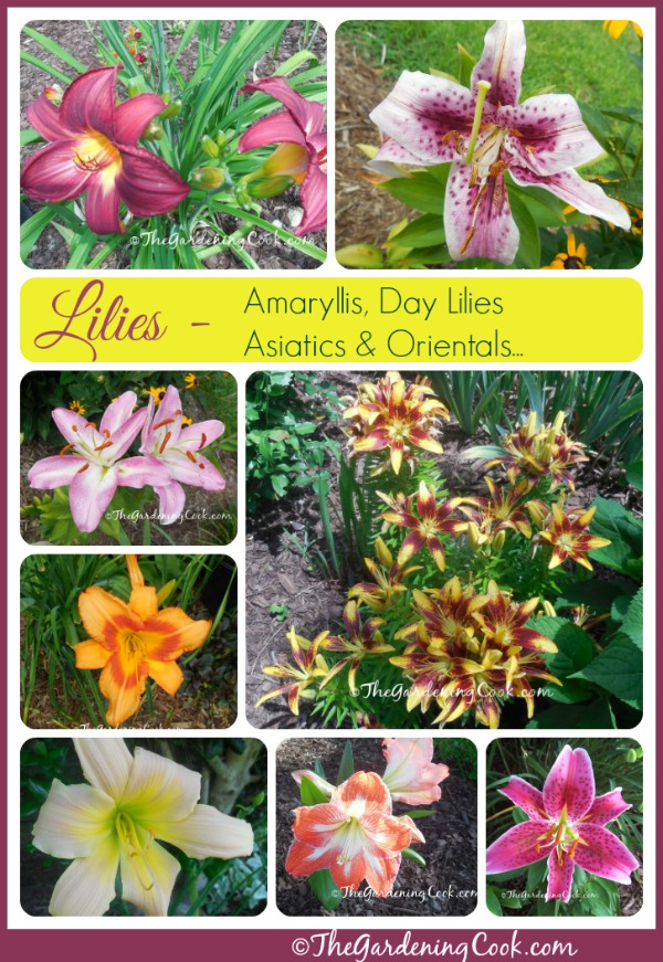 It S Lily Time Varieties Of Lilies In My Garden