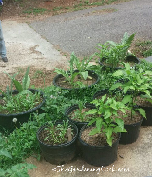 Container vegetable gardens - Peppers and artichokes