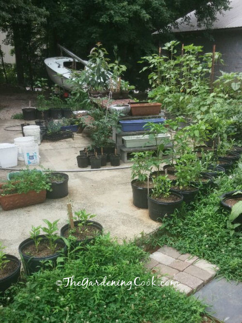 A back yard vegetable garden grown completely in containers