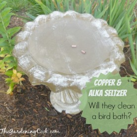Testing Alka Seltzer and Copper to clean a bird bath. Do they work? find out at thegardeningcook.com/