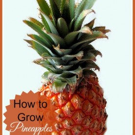 How to Grow your Own Pineapple: the gardeningcook.com/growing-pineapples