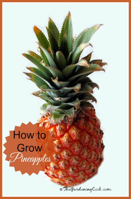 Growing pineapples from a discarded top: the gardeningcook.com/growing-pineapples