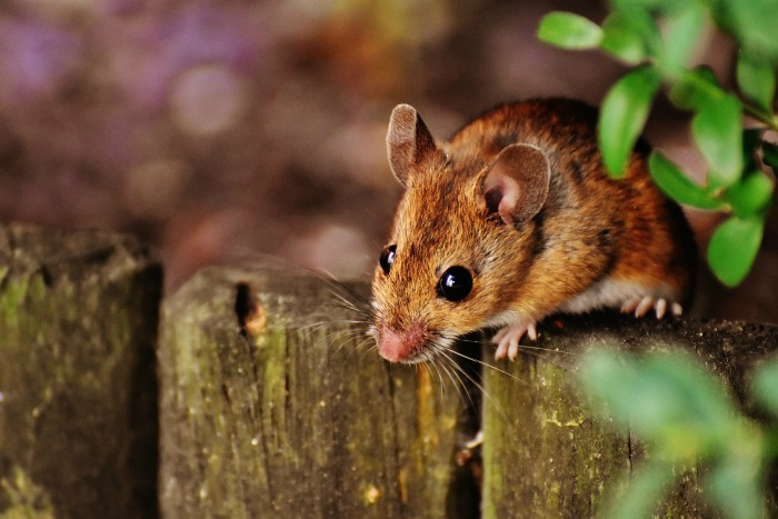 Mice are hosts to ticks. Try and keep your yard free of them.