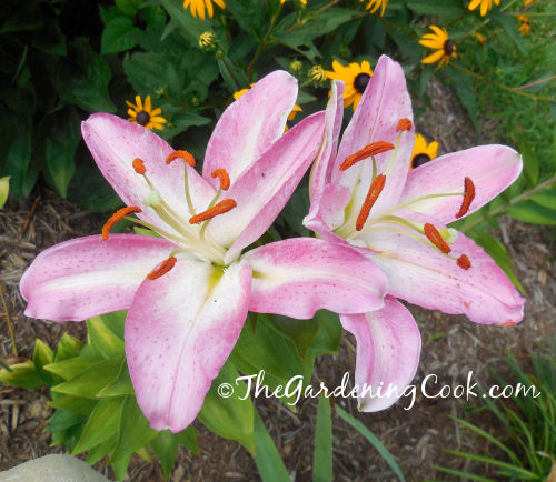 Pink and White Oriental Lily