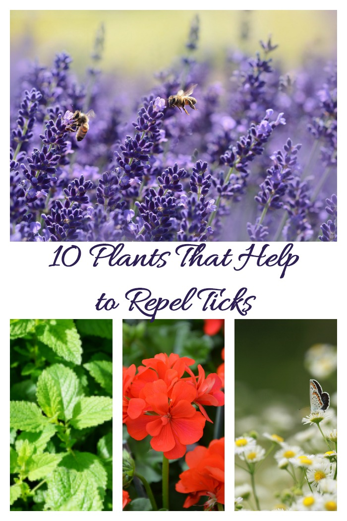 10 Plants that help to repel ticks