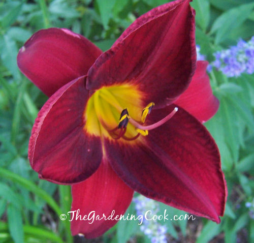Bright Red day lily