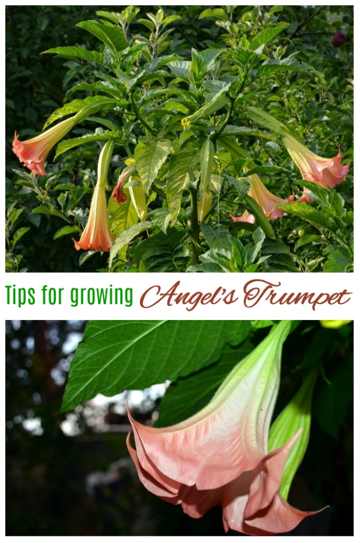 tips for growing brugmansia