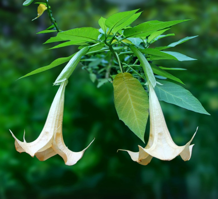 How to Grow Angel's Trumpet -  Brugmansia