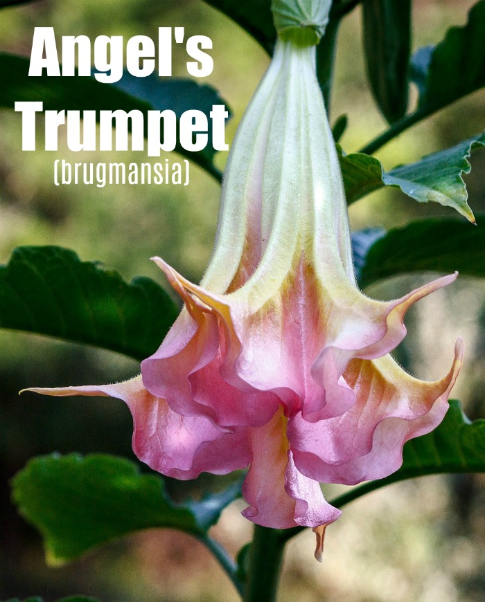 Pink and white angels' trumpet flower