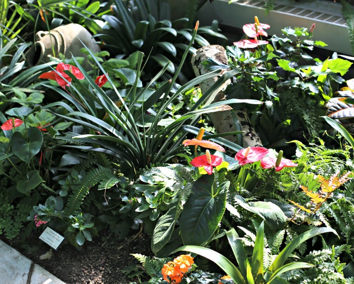 Anthuriums and other tropical plants