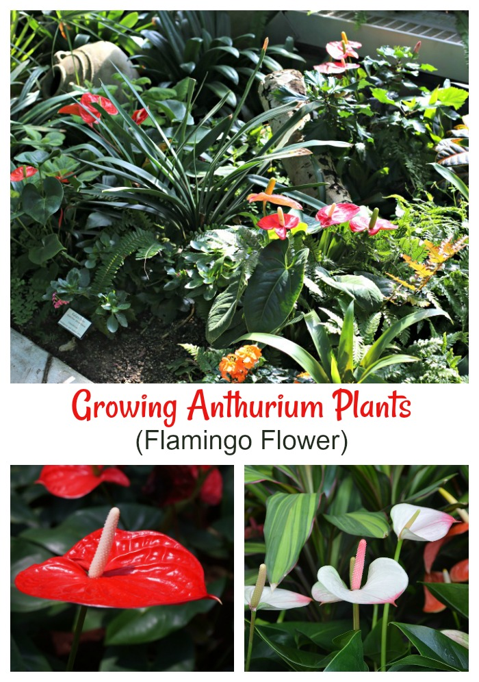 Anthurium plants and flowers
