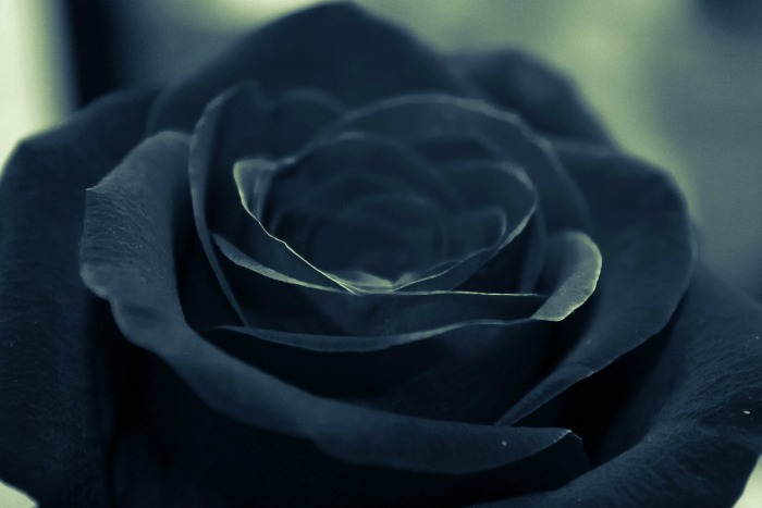 Black roses are dyed to get the color