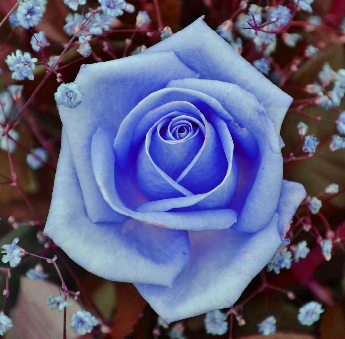If you find blue roses, they have likely been dyed.