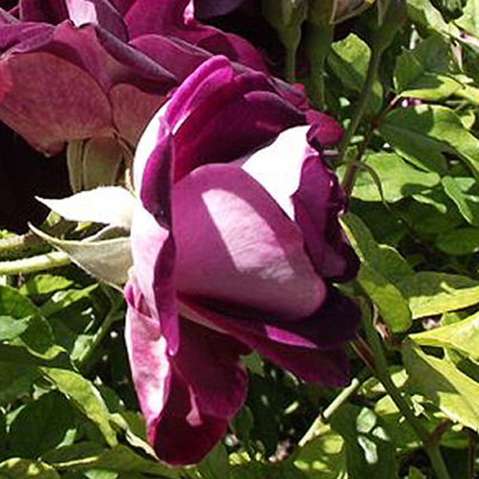 Burgundy roses - deep passion and unconscious beauty