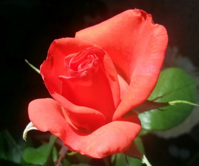 Coral roses indicate desire and enthusiasm