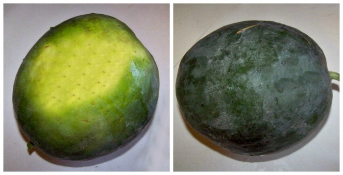 Dull watermelon with a yellow bottom