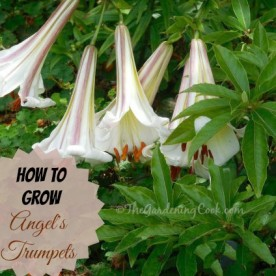 How to grow angel's trumpets: thegardeningcook.com/