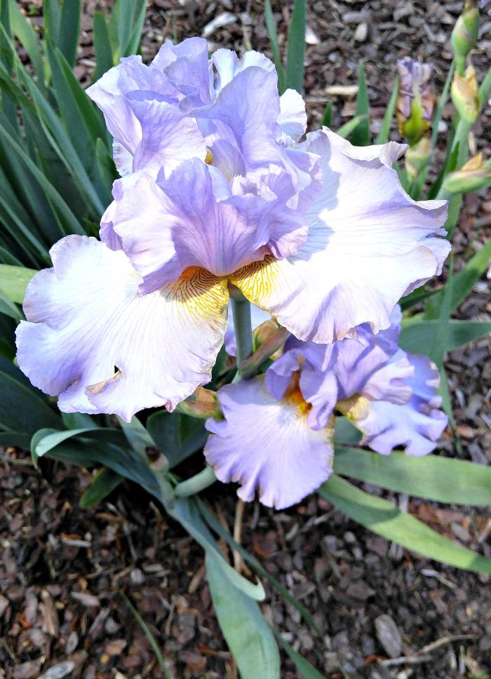 LIlac Bearded Iris