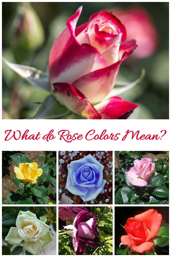 What do rose colors mean? This photo guide tells you what the sentiment is and how to use them as gifts for many occasions.