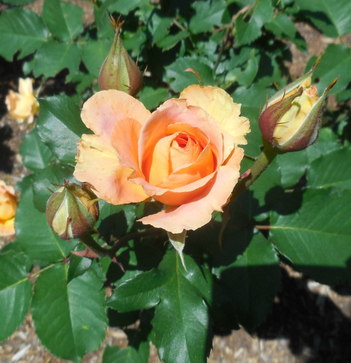 The meaning of peach colored roses. They signify love and excitgement