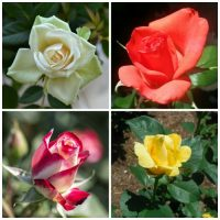 Roses mean different things depending on the color chosen. They express love and many other emotions. Click through to find out more.