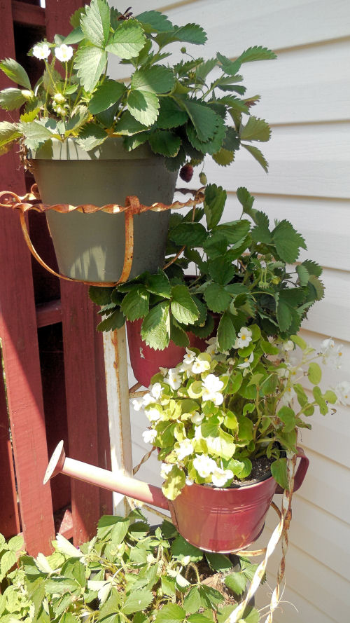 Begonias in a watering can planter