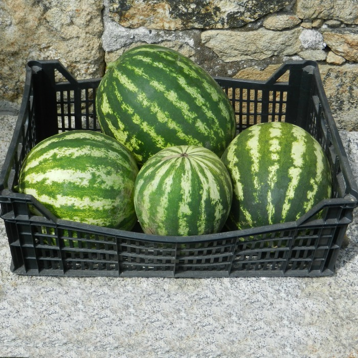 Harvesting watermelons